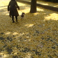 銀杏並木☆