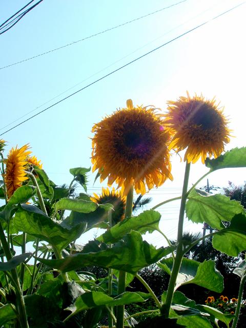 この向日葵☆