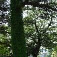 この木何の木、気になる木。